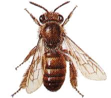 Logo L'abeille noire, maraîcher biologique