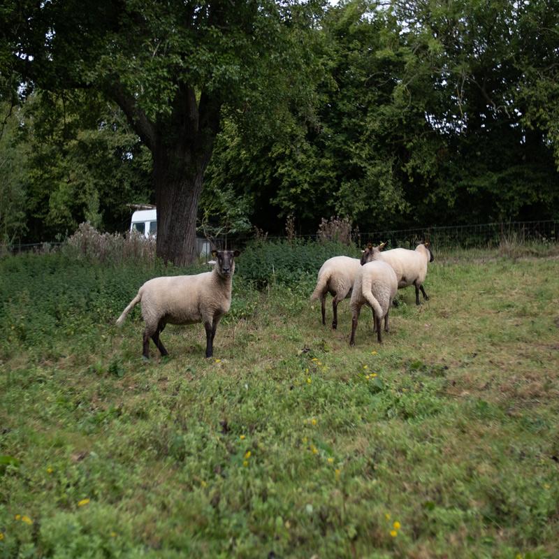 Moutons normands, les Roussins de la Hague