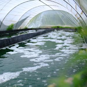 Bassin de culture de spiruline