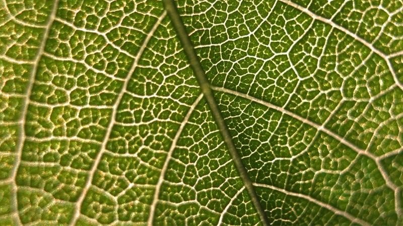 Spiruline riche en chlorophylle