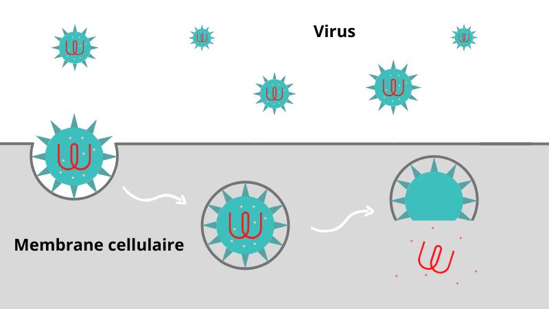 La spiruline, antiviral puissant