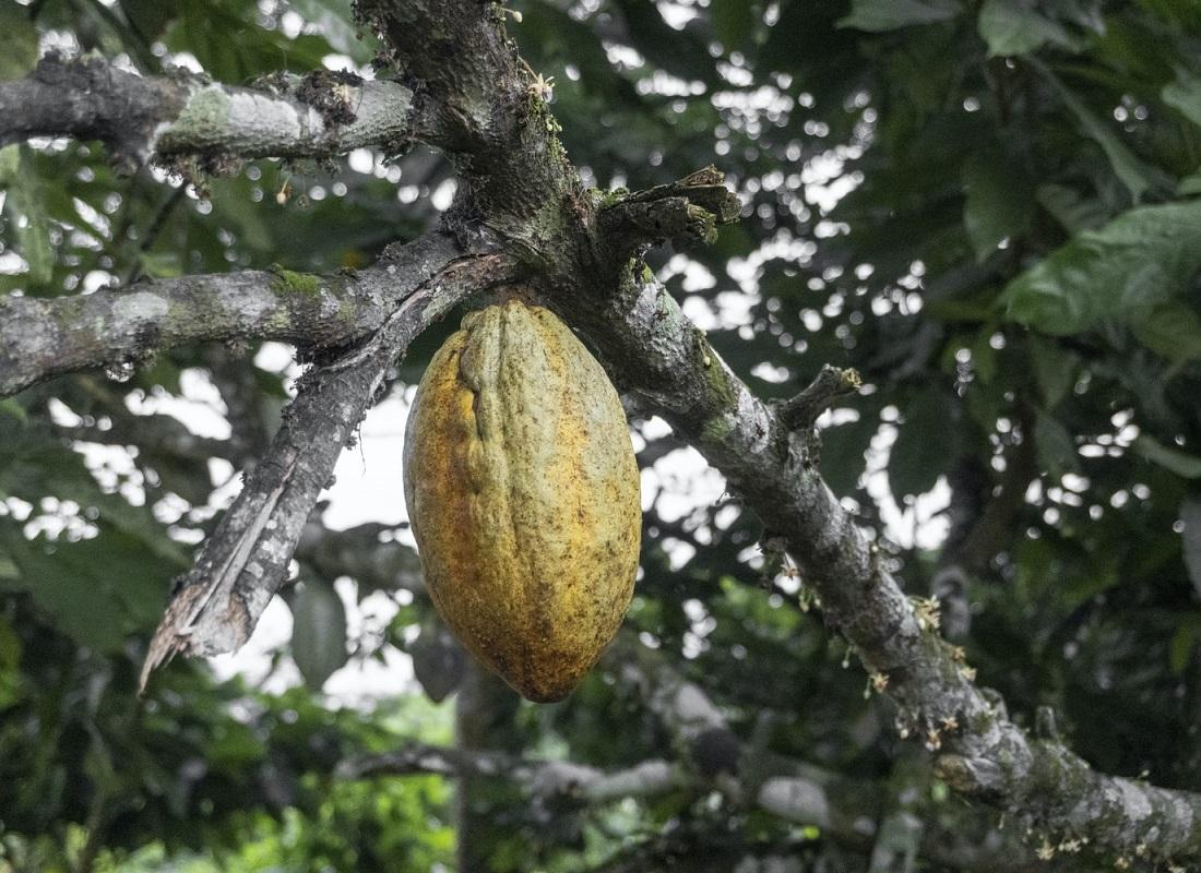 cacaoyer-feves-de-cacao